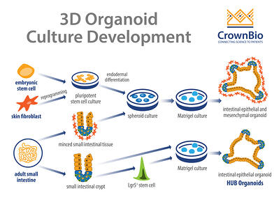 development of HUB epithelial organoids from lgr5+ adult stem cells vs other culture methods