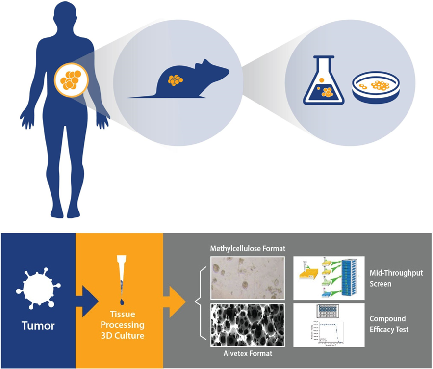 PDX Models in Drug Discovery Assays