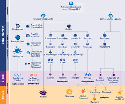 hematopoeisis, graphic showing the development of different blood cells in humans including morphological characteristics