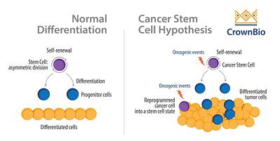Cancer stem cell hypothesis compared with normal stem cell differentiation