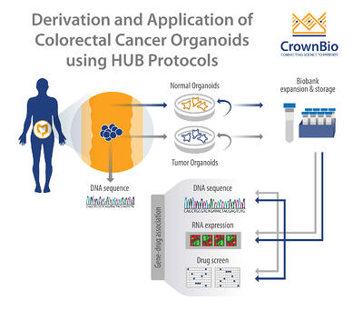 derivation and application of colorectal tumor organoids using the hans clevers method