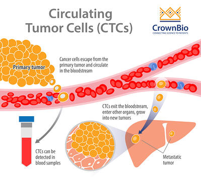 metastasis via CTCs, by cells escaping the primary tumor and traveling via blood vessels