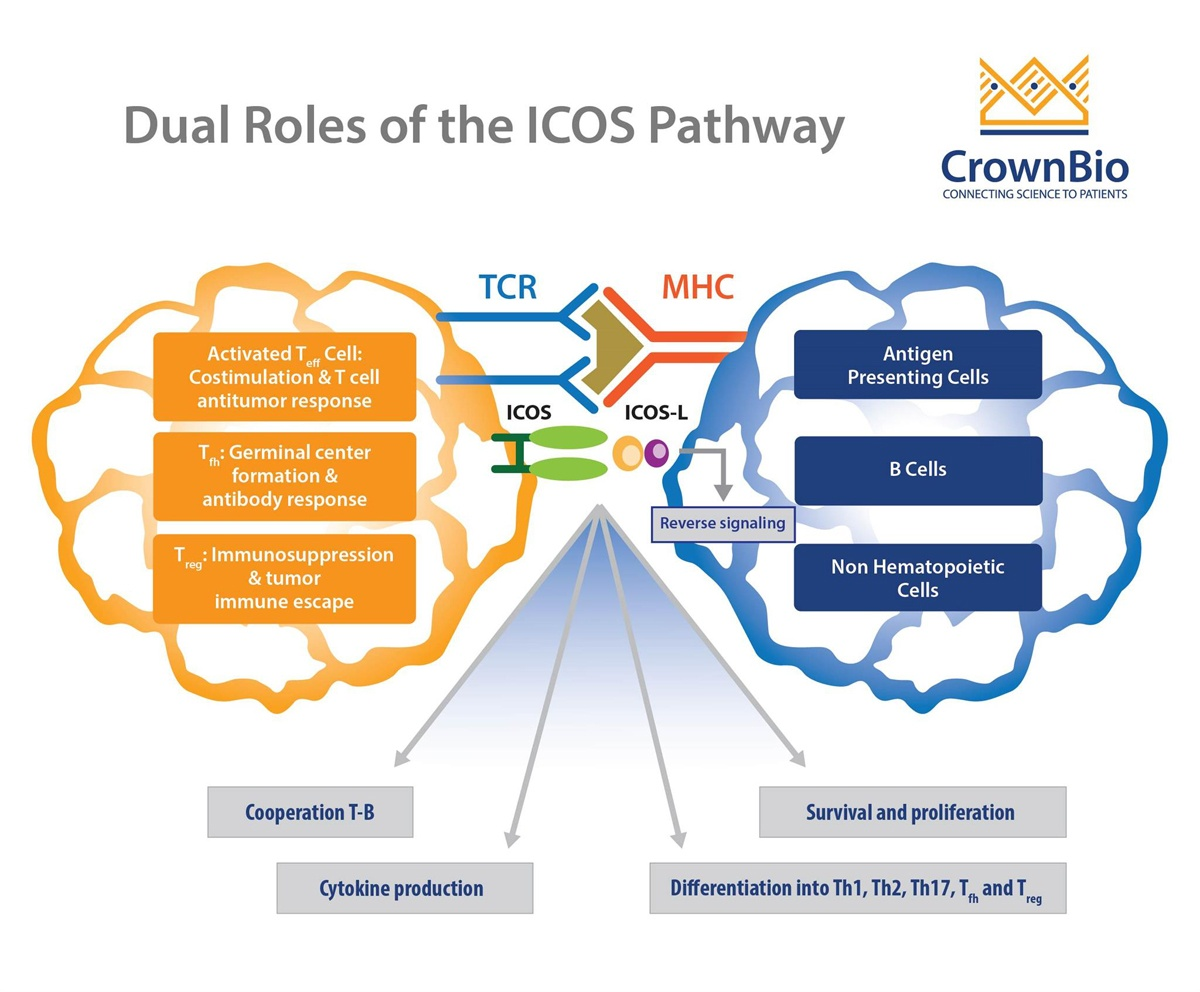 Dual roles of ICOS pathway, T cell receptor target in immunotherapy