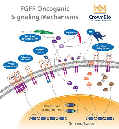 fgf and fgfr oncogenic signaling mechanisms