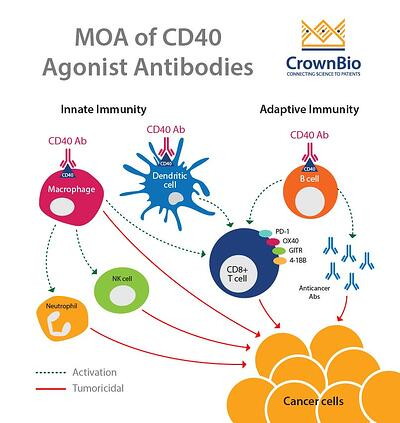 Mechanism of action of CD40 agonist antibodies, and their roles in cancer immunotherapy
