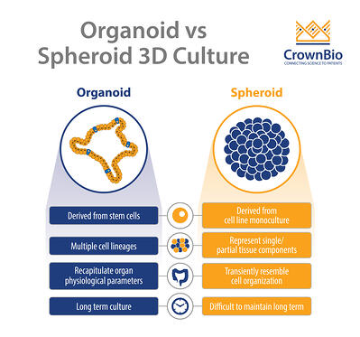 comparing organoid and spheroid 3D cultures for derivation, cell lineages, long term culture, and organ recapitulation