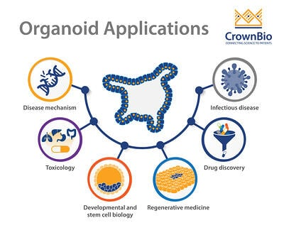 graphic of organoid applications including drug discovery, toxicology, stem cell biology, regenerative medicine, studying disease mechanisms