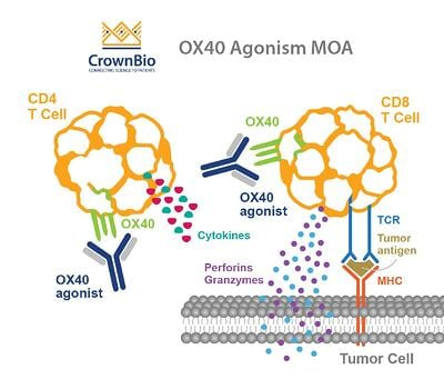 OX40 Agonists: Boosting Cancer Immunotherapy