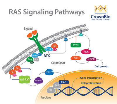 The RAS signaling pathway in oncology, from extracellular stimulus to nuclear function
