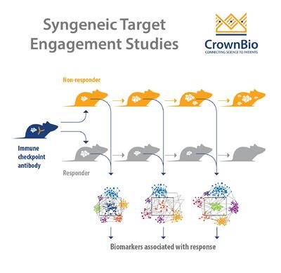 Infographic showing the concept of using syngeneic tumor models for immunotherapy target engagement studies