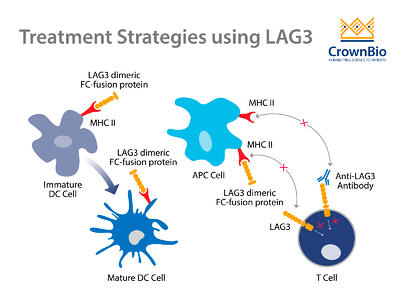 Immunotherapy treatment strategies using LAG3 including antagonistic checkpoint inhibitor antibodies and antigen presenting cell activation