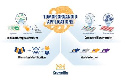 Top 4 Applications for Tumor Organoids in Oncology Drug Development