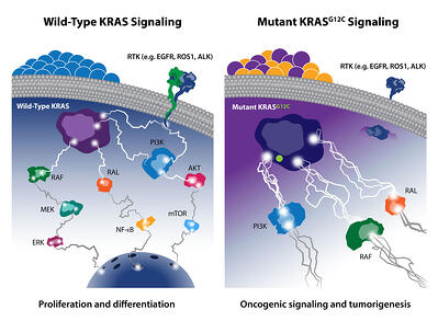 wild type and mutant KRAS signaling