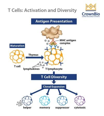 t cell activation, diversity, helper, memory, suppressor, cytotoxic, MHC antigen complex, antigen presentation