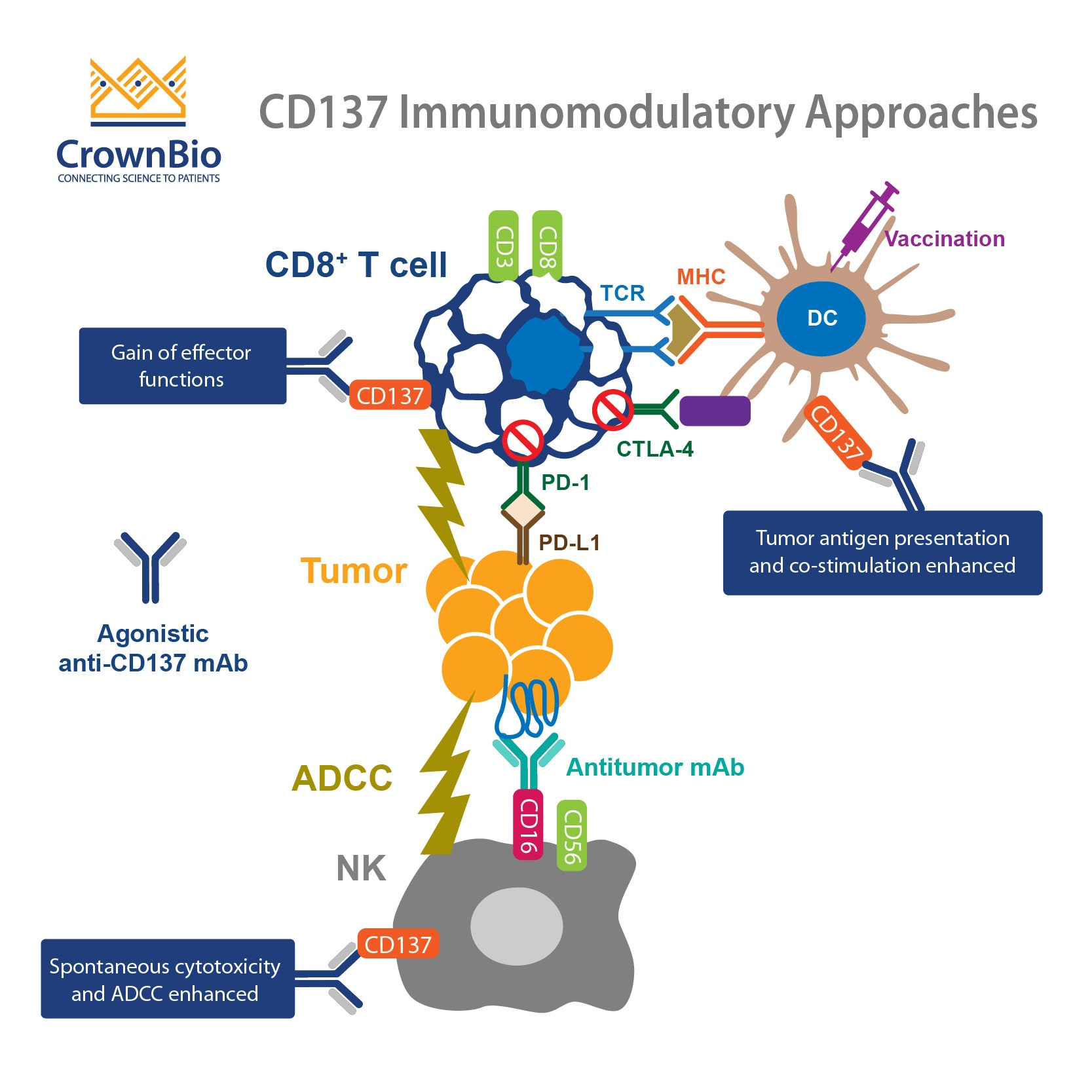 CD137: An Important Target in T Cell Co-Stimulation