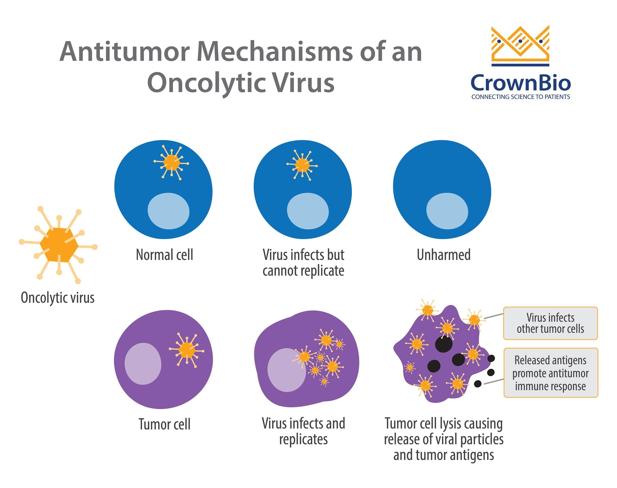 Illustration of anti-tumor function of oncolytic viruses compared to behavior in non-cancerous cells