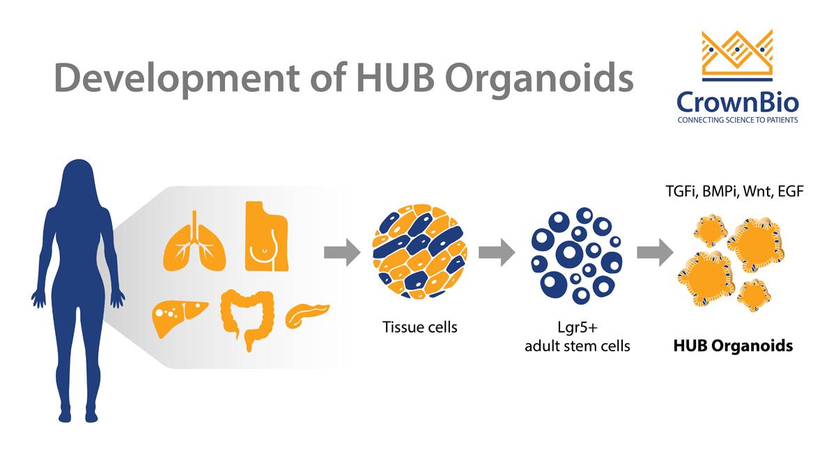 The Development of HUB Organoids