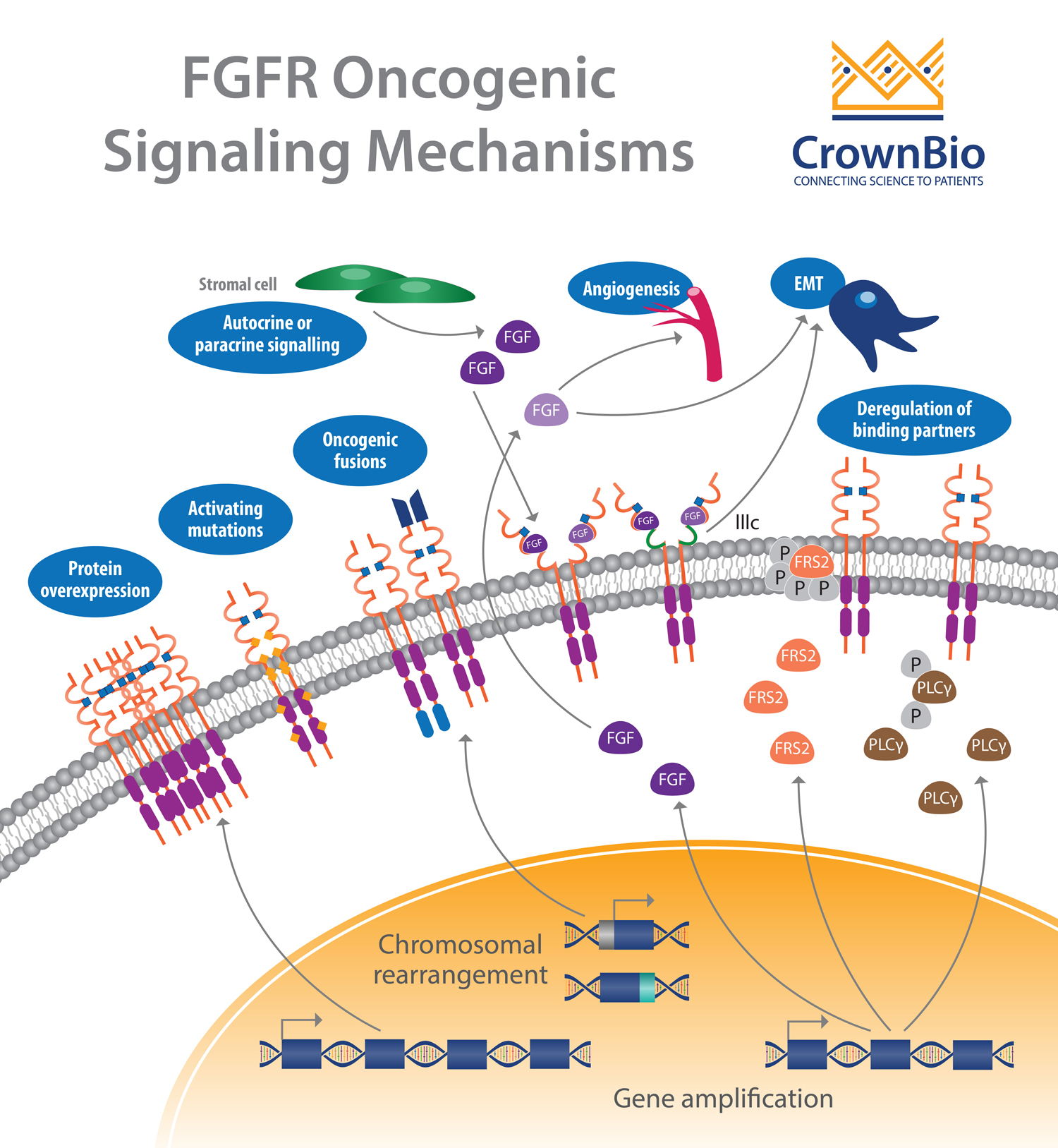 Targeting the FGF/FGFR Signaling Axis with PDX Models