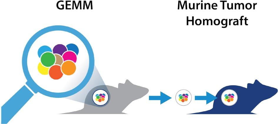 GEMM derived murine tumor homograft models for immunotherapy efficacy assessment, MuPrime immunocompetent mouse models