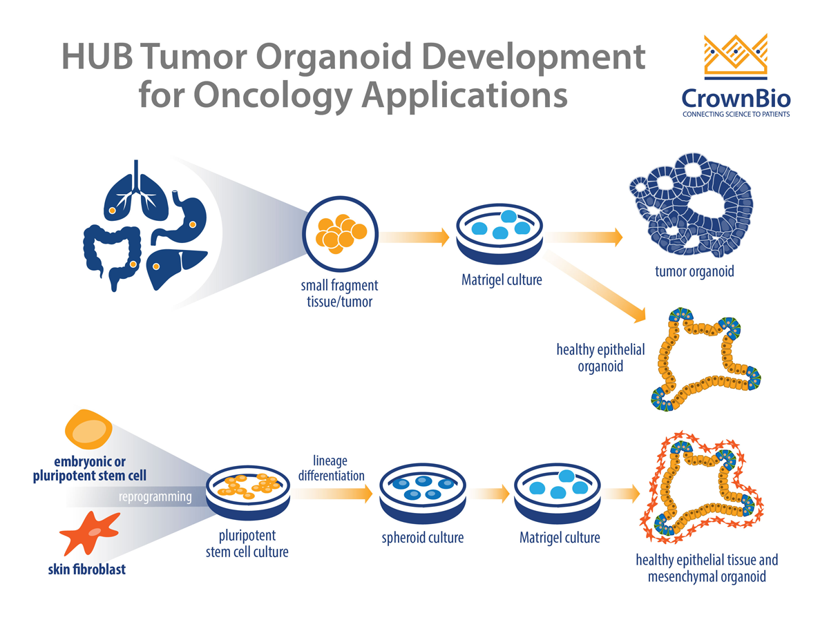 HUB Technology: The Only Tumor Organoid Platform Available for Oncology Drug Discovery