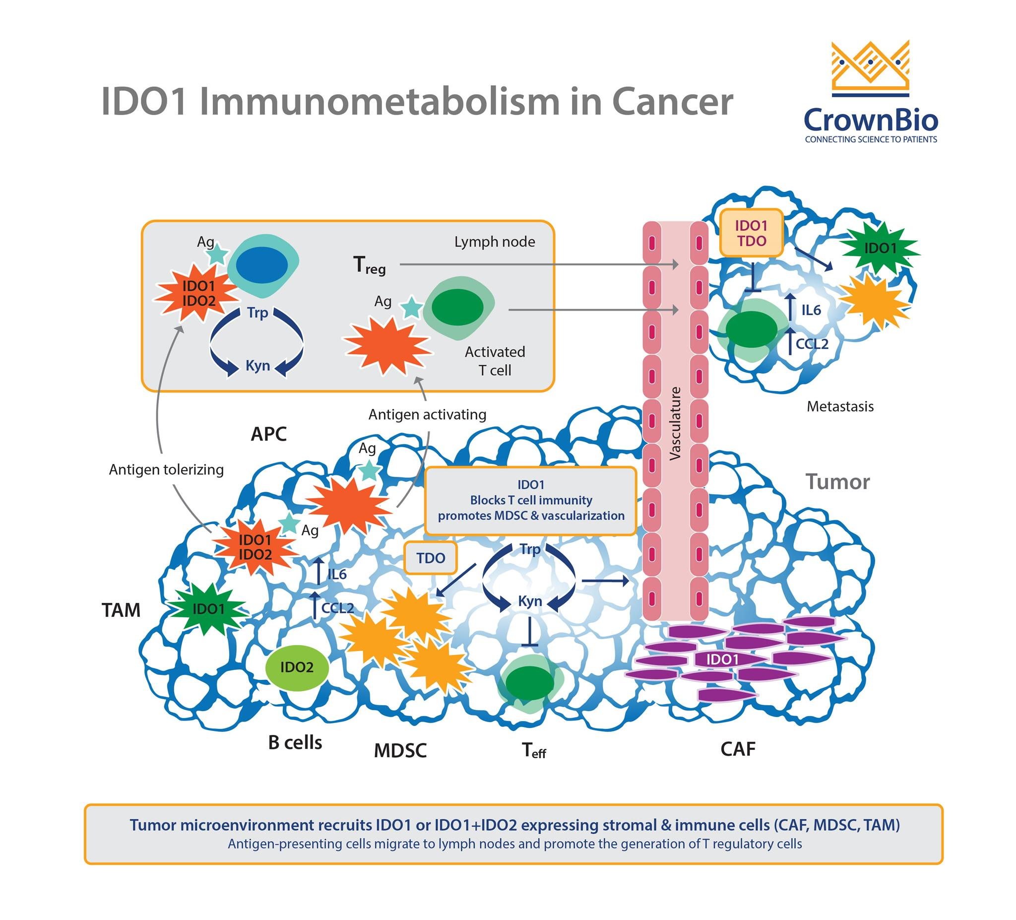IDO to I DON'T – IDO1 Inhibitor Development News