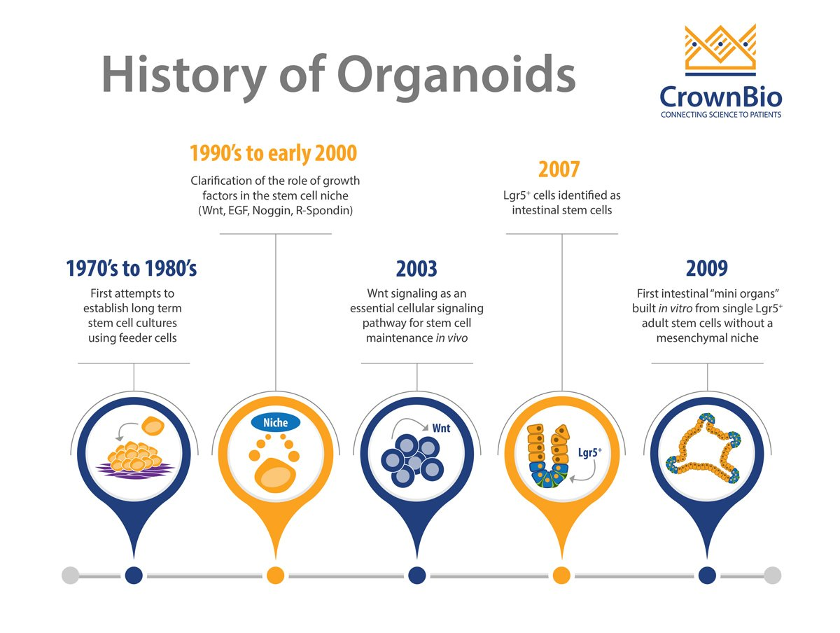 Key Discoveries in the Development of Modern HUB Organoids