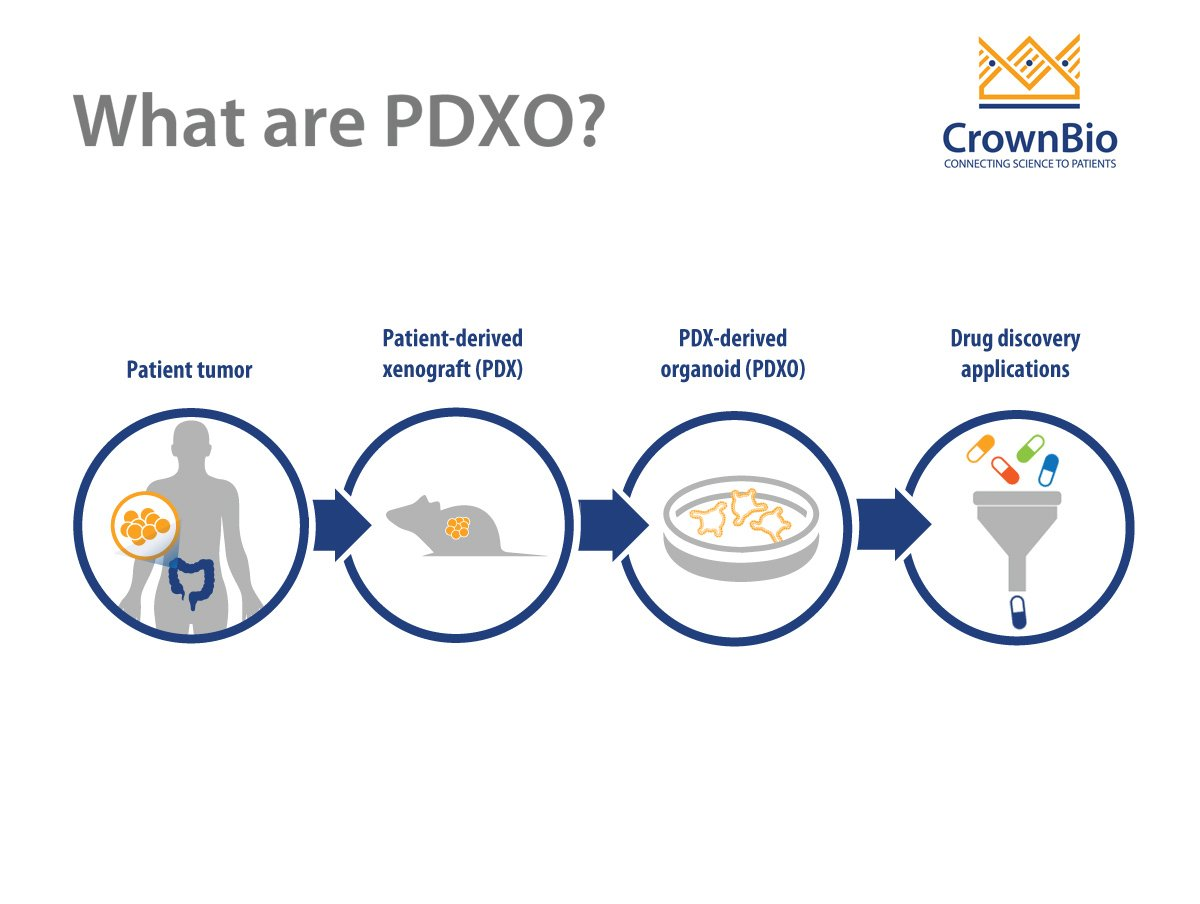 What are PDX-Derived Organoids (PDXOs)?