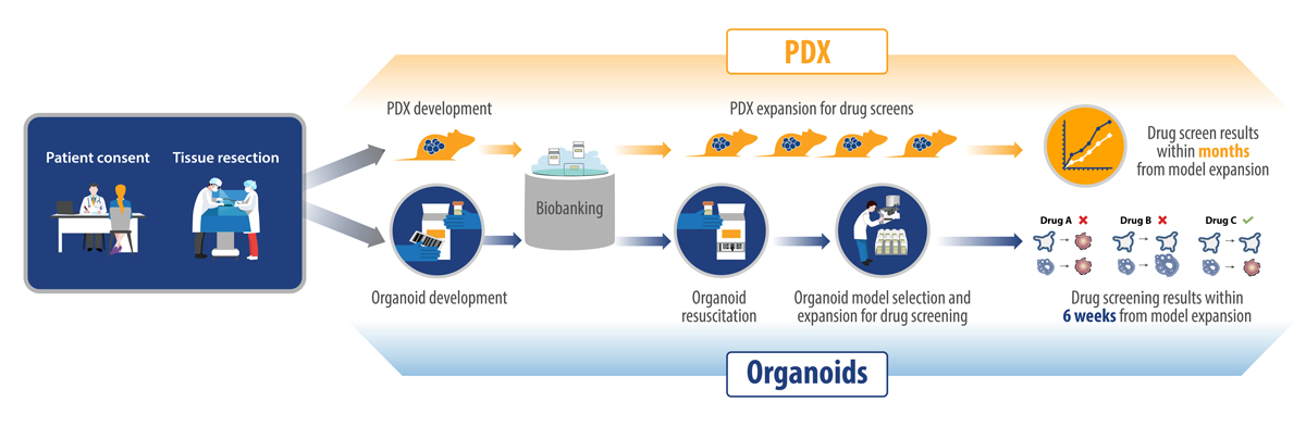 pdx vs tumor organoid workflow in precision medicine