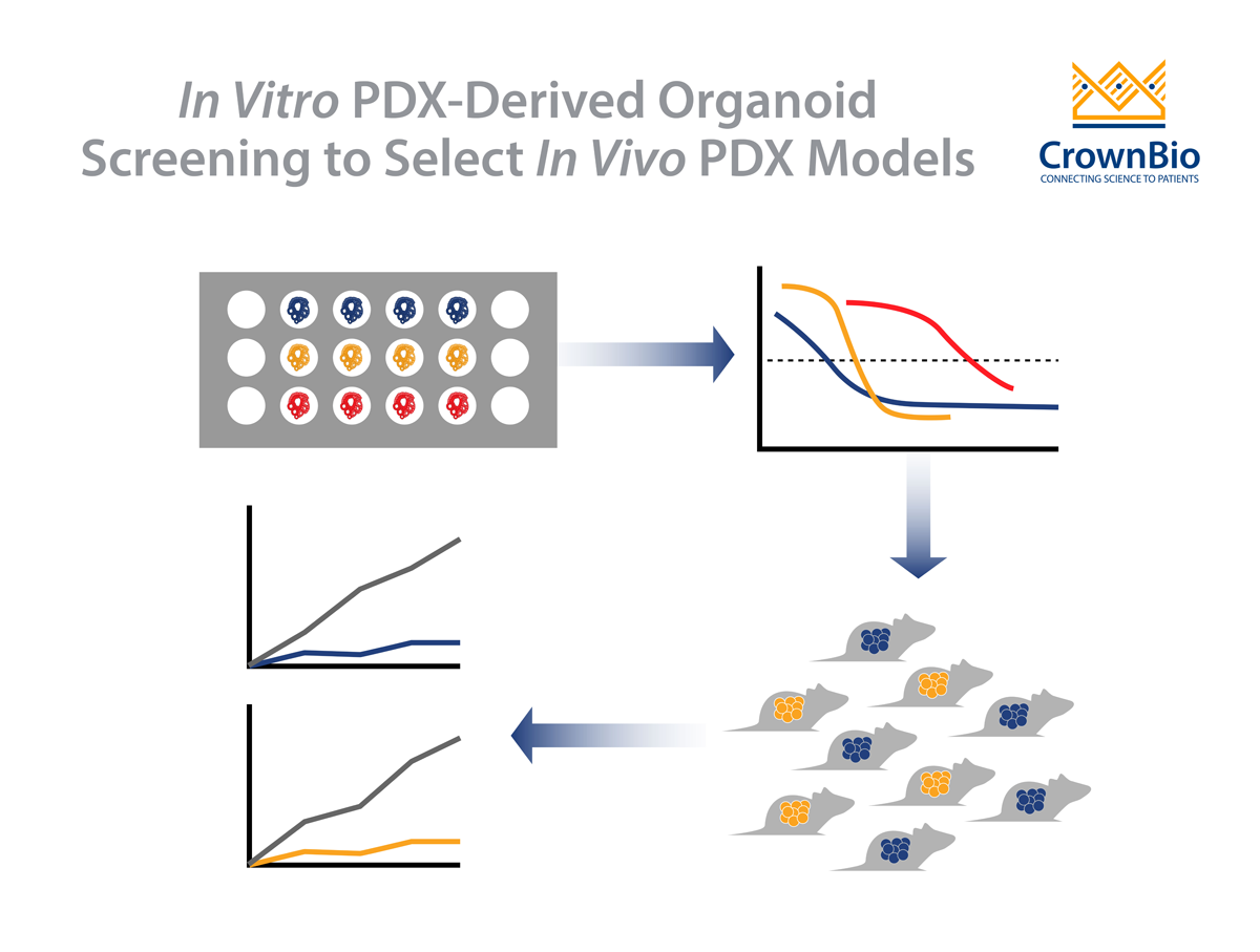 How to Select the Right In Vivo PDX Using PDX-Derived Organoids (PDXO)