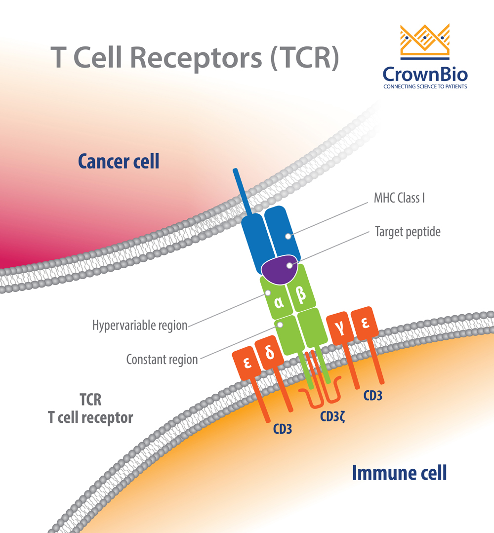 Recognizing and Profiling T Cell Receptors