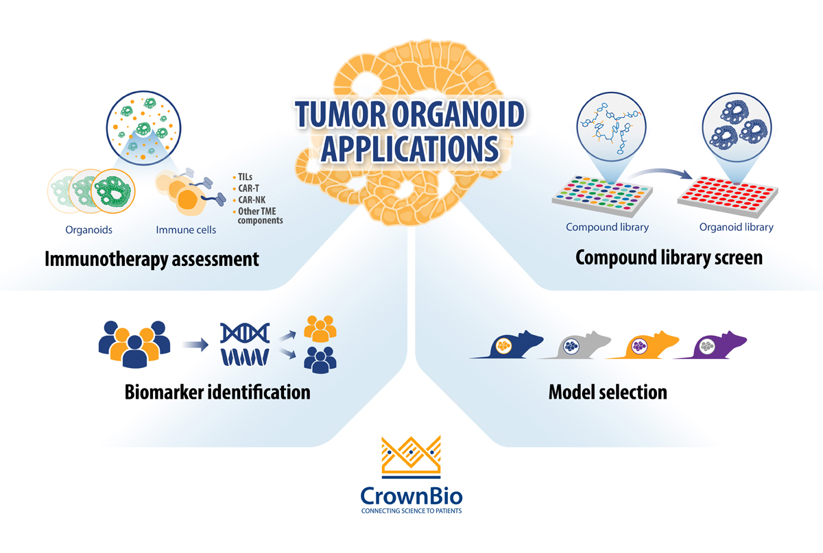 Top 4 Applications for Tumor Organoids in Oncology Drug Development