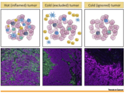 how t cells migrate into inflamed excluded and ignored tumors